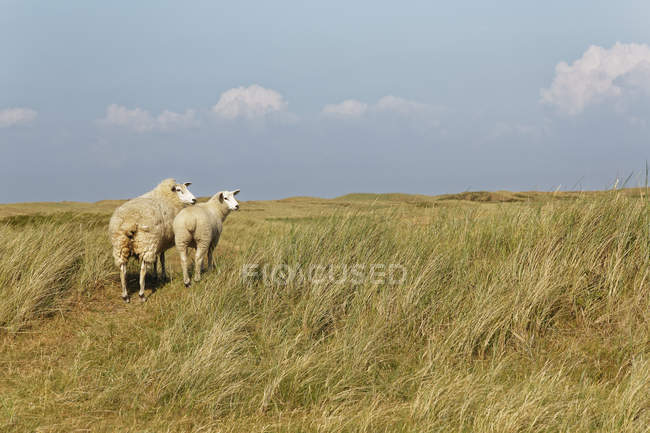 Germany, North Frisia, Sylt, Sheep on meadow — Stockfoto