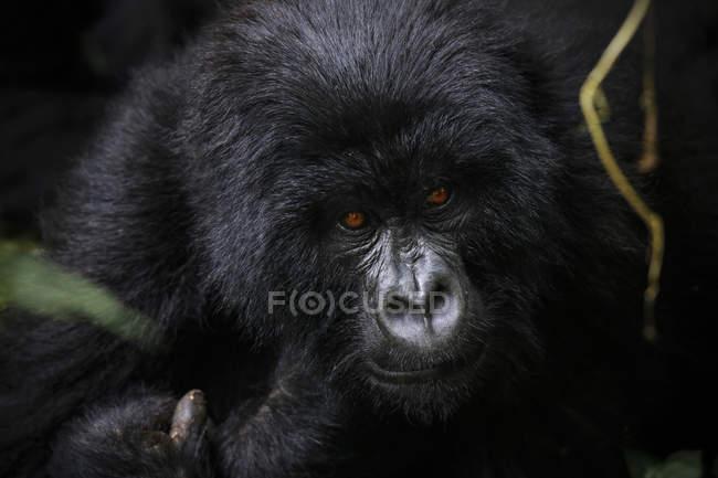 Africa, Repubblica Democratica del Congo, gorilla di montagna, silverback nella giungla — Foto stock