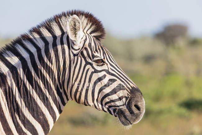 Portrait du zèbre de Burchell, Afrique, Namibie, Parc national d'Etosha — Photo de stock