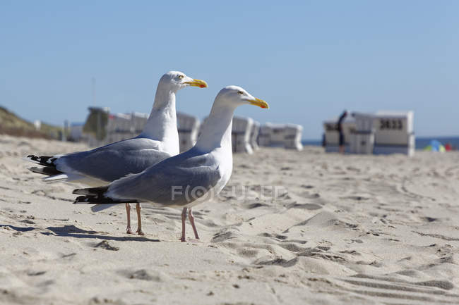 Germany, North Frisia, Sylt, Seagulls at the beach — Stock Photo