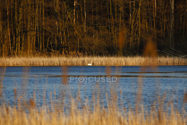 Germany, lake with swan in the evening light — Stock Photo