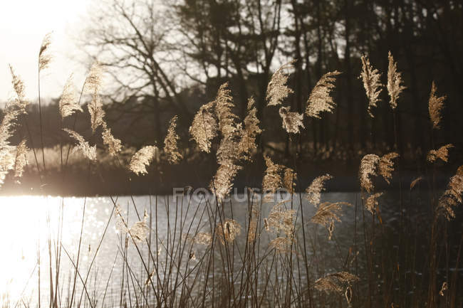 Germany, lake and reed in the evening light — Stock Photo