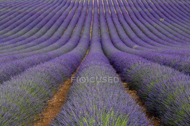 France, Alpes-de-Haute-Provence, Valensole, lavender field — Stock Photo