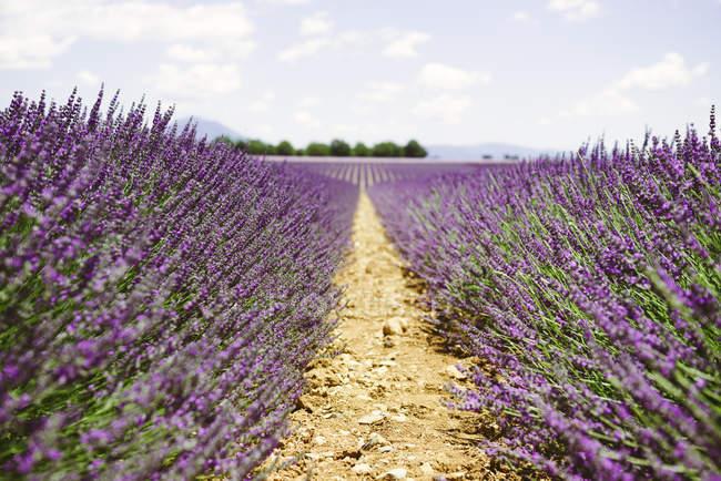 Франція, Прованс, Валенсопідошва плато, фіолетові поля квітучої лаванди влітку — стокове фото