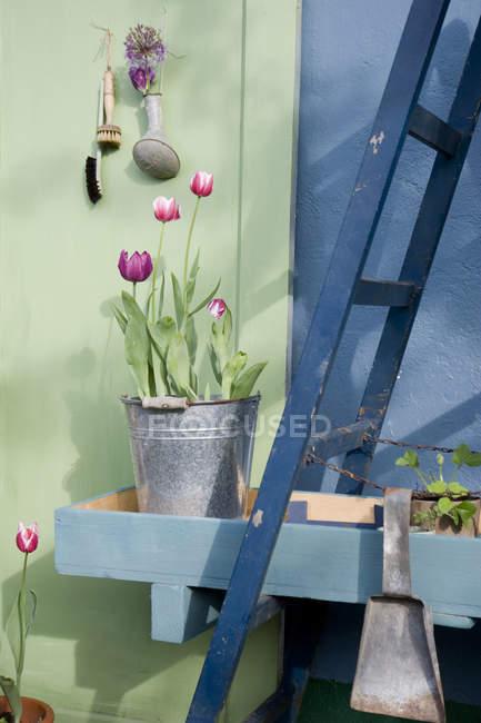 Tulipanes en maceta en cubo de metal - foto de stock
