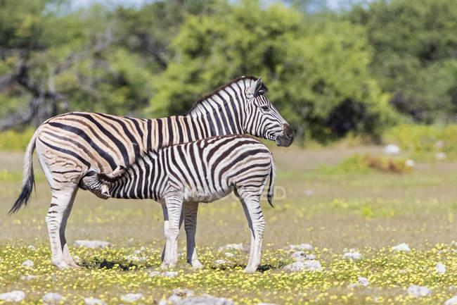 Матері та молоді тварини годуючих в Африці, Намібія, Етоша Національний парк — стокове фото