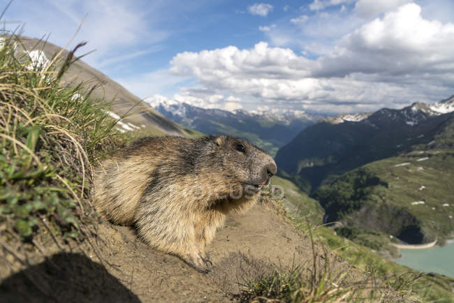 Austria, High Tauern National Park, close up of marmot — Stockfoto
