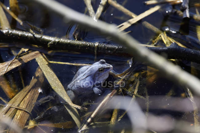 Blue frog in pond, spawning period — Fotografia de Stock