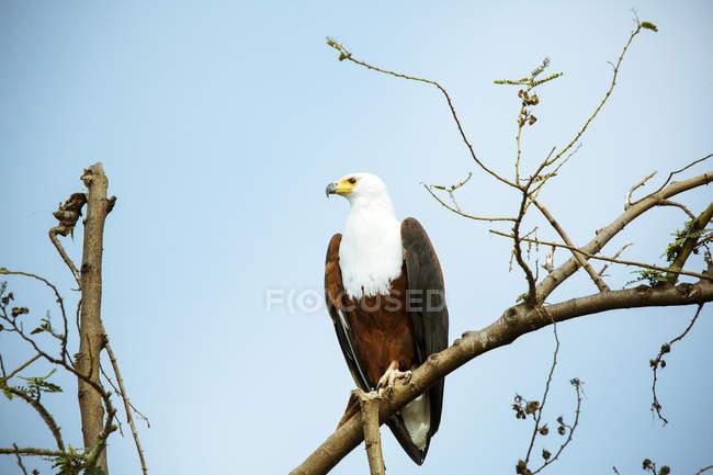 Uganda, Parque Nacional Kigezi, águila calva posándose en rama - foto de stock