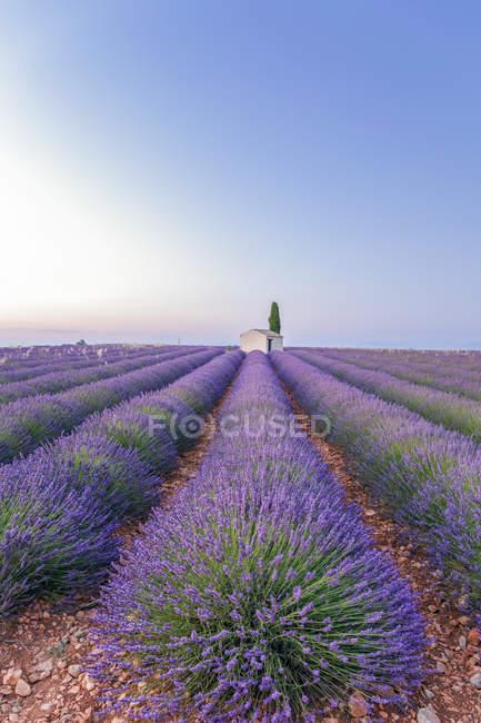 França, Alpes-de-Haute-Provence, Valensole, lavanda — Fotografia de Stock