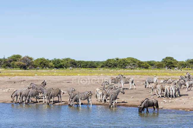 Burchell's zebras and blue wildebeest, at Chudop waterhole, Africa, Namibia, Etosha National Park - foto de stock