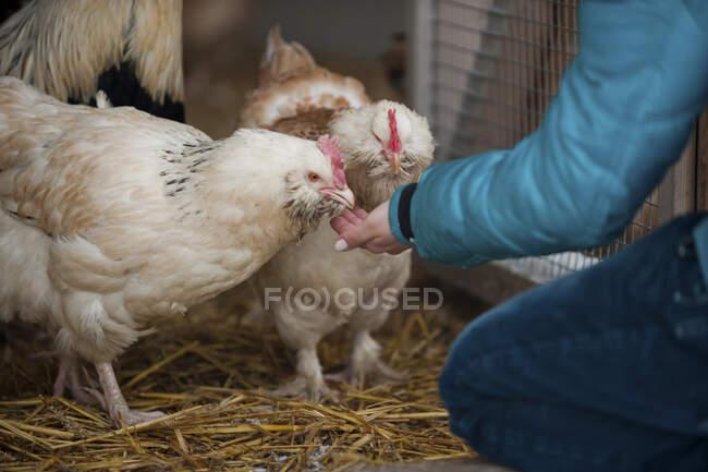 Germany, Person feeding chicken on farm — Stock Photo