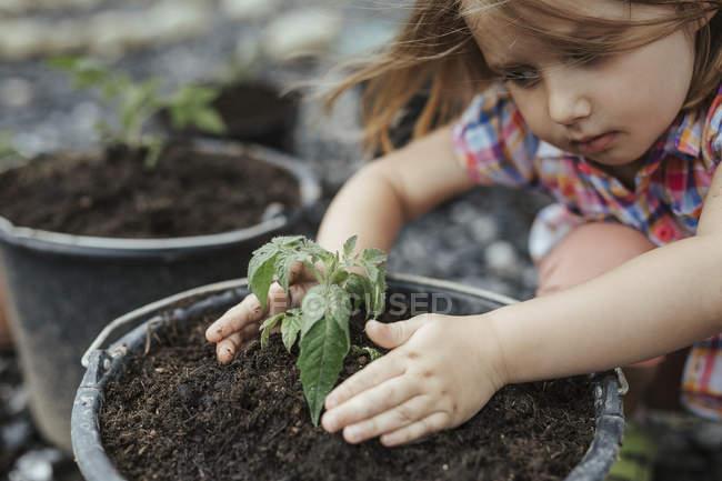 Little girl planting tomato plant — Stock Photo