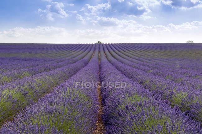 Франция, Иль-де-Франс, Валансоль, лавандовое поле — стоковое фото