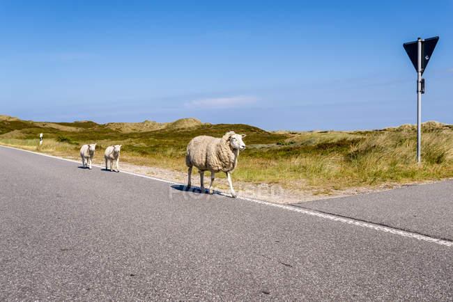 Germany, Schleswig-Holstein, Sylt, Sheep walking on roadside — Fotografia de Stock