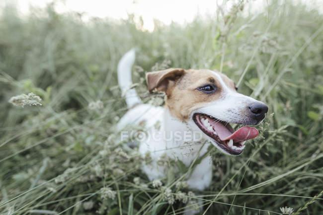 Portrait of Jack Russel Terrier on a meadow — Stockfoto