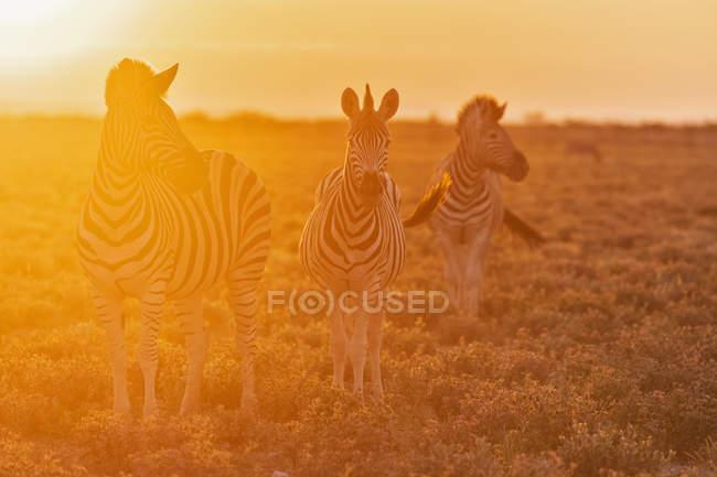 Burchell в зебр на заході в Африці, Намібія, Етоша Національний парк, — стокове фото