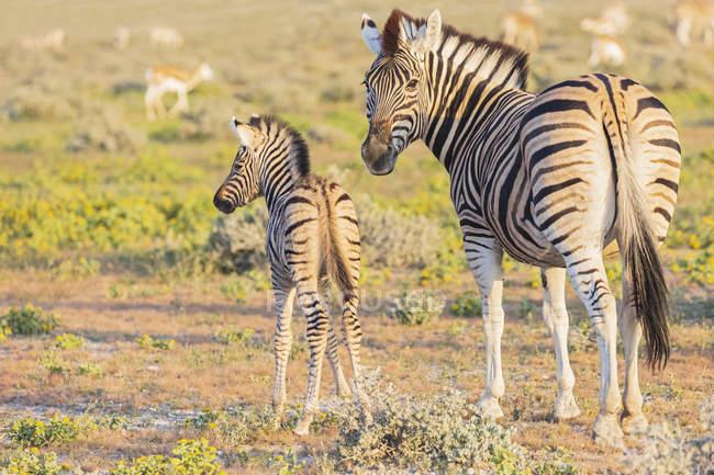 Африка, Намібія, Етоша Національний парк, зебр бушель, Equus quagga burchell, молоді тварини і матері тварин — стокове фото