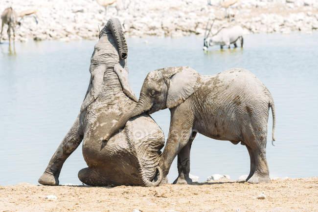 Afrika, Namibia, Elefantenbabys spielen neben einem Wasserloch im Etoscha-Nationalpark — Stockfoto