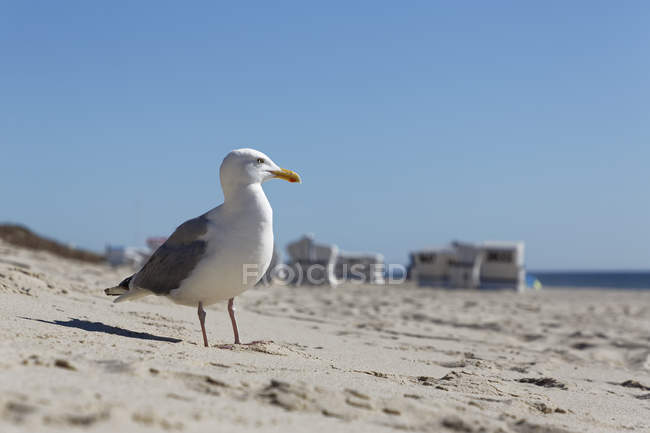 Germany, North Frisia, Sylt, Seagull at the beach — Stockfoto