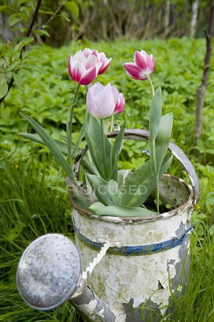 Німеччина, Гамбург, альт землі, Тюльпани в іржавий полив може в саду — стокове фото