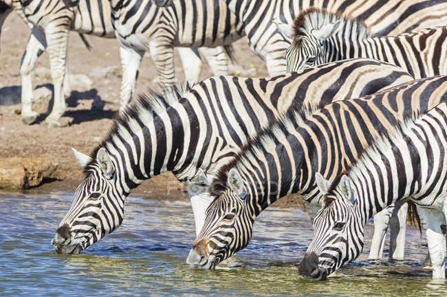 З зебри, що п'є воду, в Чудоп, Африка, Намібія, Національний парк Етоша — стокове фото