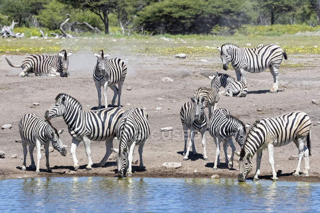 Бершелл зебр на Чуоператор ватерлунс, Африка, Намібія, Національний парк Етоша — стокове фото
