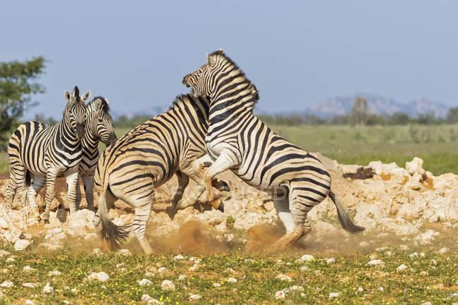 Берчелл зебр бореться в Африці, Намібія, Етоша Національний парк — стокове фото