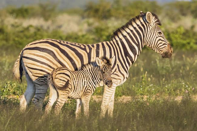 Мати і молода тварина, зебр берчелла в Африці, Намібія, Національний парк Етоша — стокове фото