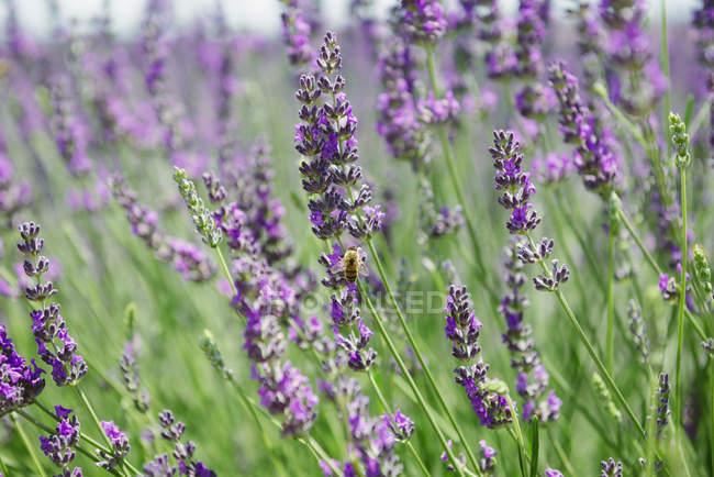 Франція, Прованс, Крупний план квітучих полів лаванди влітку — стокове фото