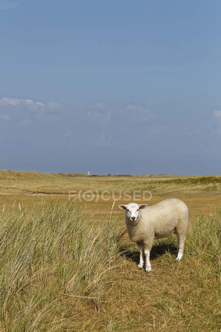 Germany, North Frisia, Sylt, Sheep on meadow — Stock Photo