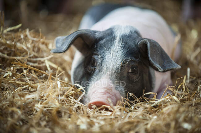 Alemania, Farrow en la granja - foto de stock