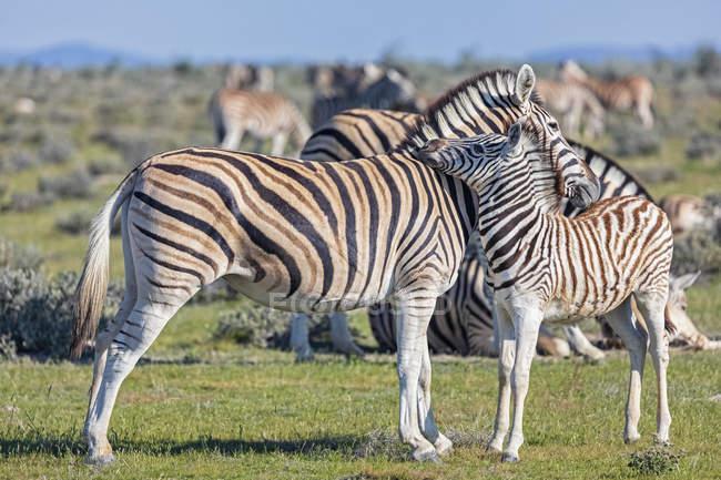 Мати і молода тварина, зебр буршель, Африка, Намібія, Національний парк Етоша — стокове фото