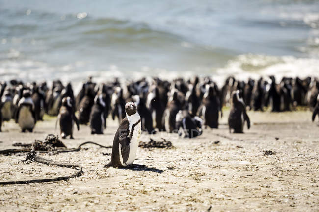 África, África do Sul, cabo ocidental, pinguim preto-footed, demersus de Spheniscus — Fotografia de Stock