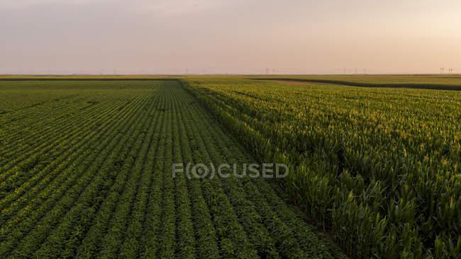 Serbia, Vojvodina, Veduta aerea dei campi di soia e mais nel tardo pomeriggio d'estate — Foto stock