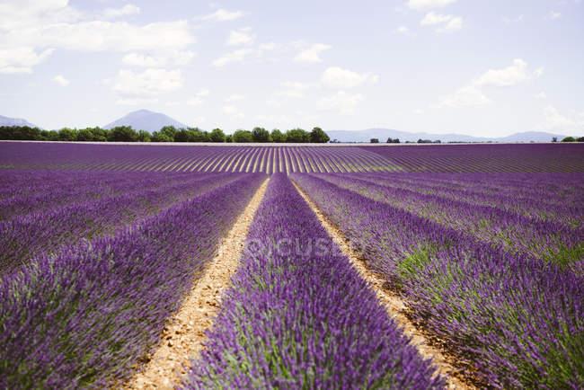 Франция, Прованс, плато Валенсоль, бесконечно пурпурные поля цветущей летом лаванды — стоковое фото