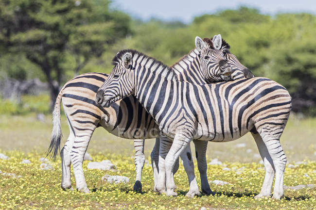 Burchell's zebras in Africa, Namibia, Etosha National Park — Stock Photo