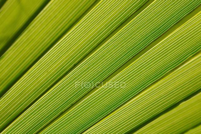 Крупный план зеленого пальмового листка — стоковое фото