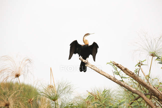 Uganda, Kigezi National Park, African darter perching on branch — стокове фото