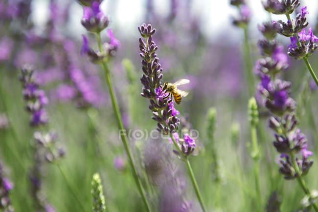 Франція, Прованс, Крупний план бджоли на лавандові квітки влітку — стокове фото