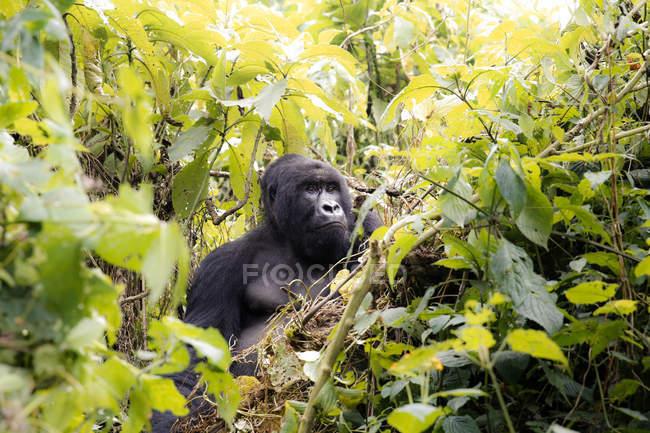 Africa, Repubblica Democratica del Congo, gorilla di montagna nella giungla — Foto stock