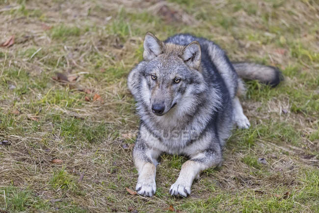 Germany, Bavarian Forest National Park, animal Open-air site Ludwigsthal, European wolf, Canis lupus — стоковое фото