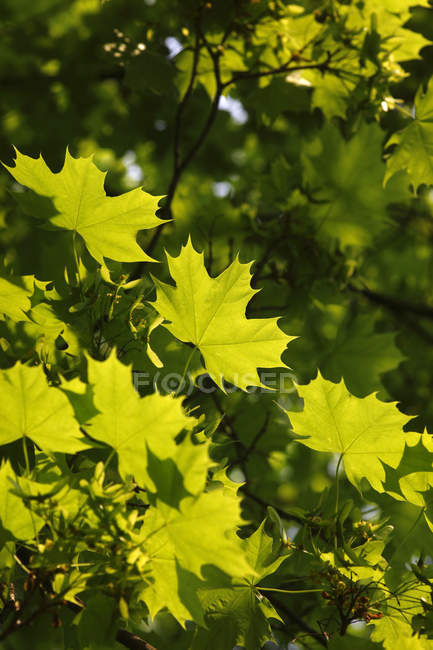 Germany, maple tree, maple leaves — Photo de stock