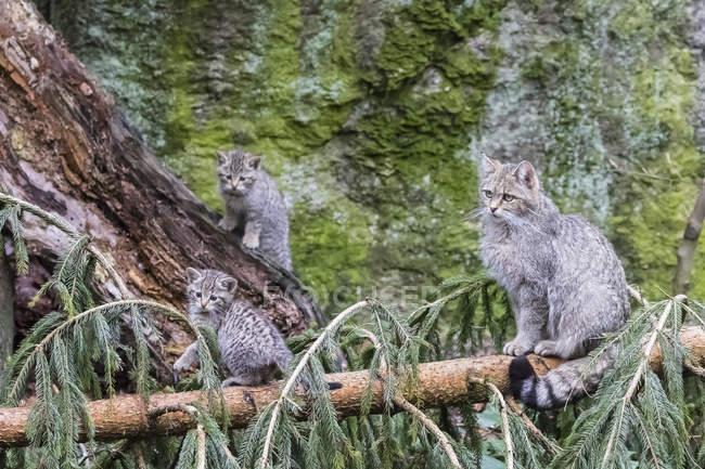 Germania, Parco Nazionale della Foresta Bavarese, animale Sito all'aperto Neuschoenau, gatti selvatici, Felis silvestris, madre animale con animali giovani — Foto stock