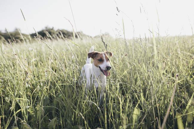 Jack Russel Terrier on a meadow — Stockfoto