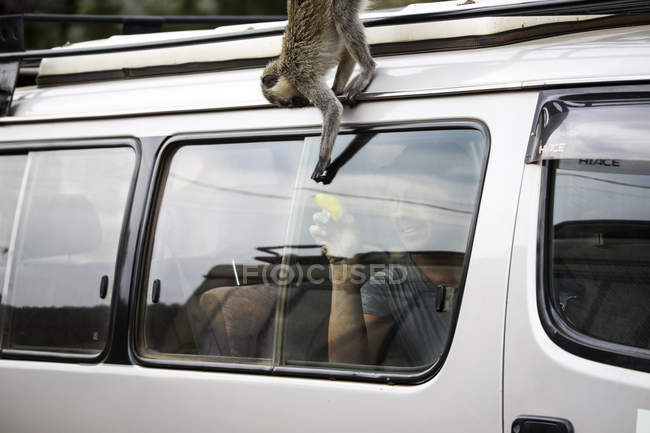 Uganda, Queen Elisabeth National Park, Curious vervet monkey climing on off-road vehicle — стокове фото