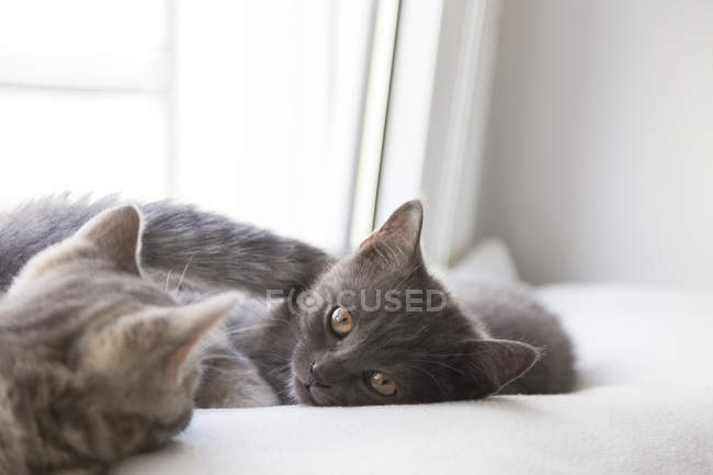 British shorthair kittens lying on window sill — Stock Photo