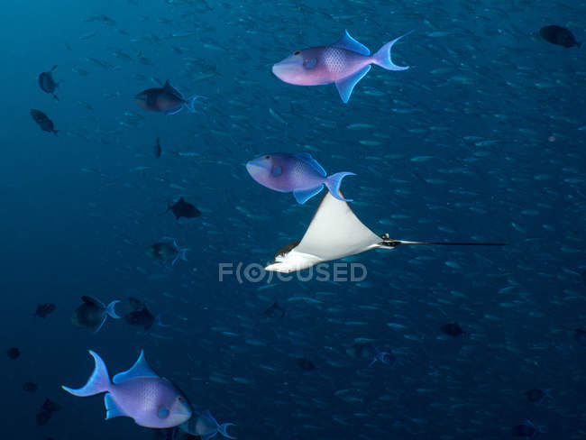 Maledives, Spotted eagle ray, Aetobatus narinari, and fishes — Stock Photo