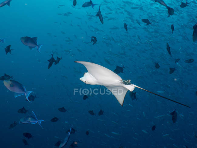 Maledives, Spotted eagle ray, Aetobatus narinari, and fishes - foto de stock