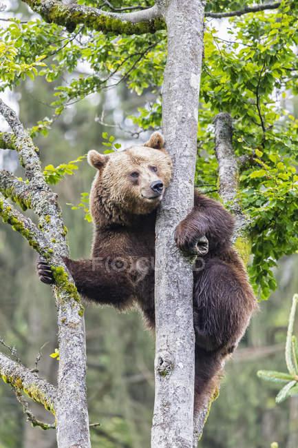 Німеччина, Баварський ліс Національний парк, тварин відкритому повітрі сайт Neuschoenau, коричневий ведмідь, Урсус arctos, скелелазіння — стокове фото